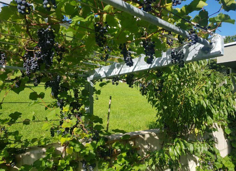 Weinrebe - Weinlaube Osttirol